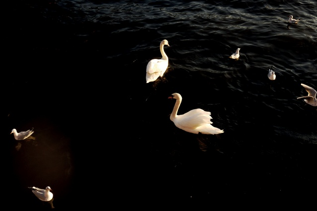Swans on the river Main.