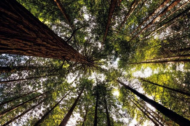 The Redwoods – Whakarewarewa Forest.