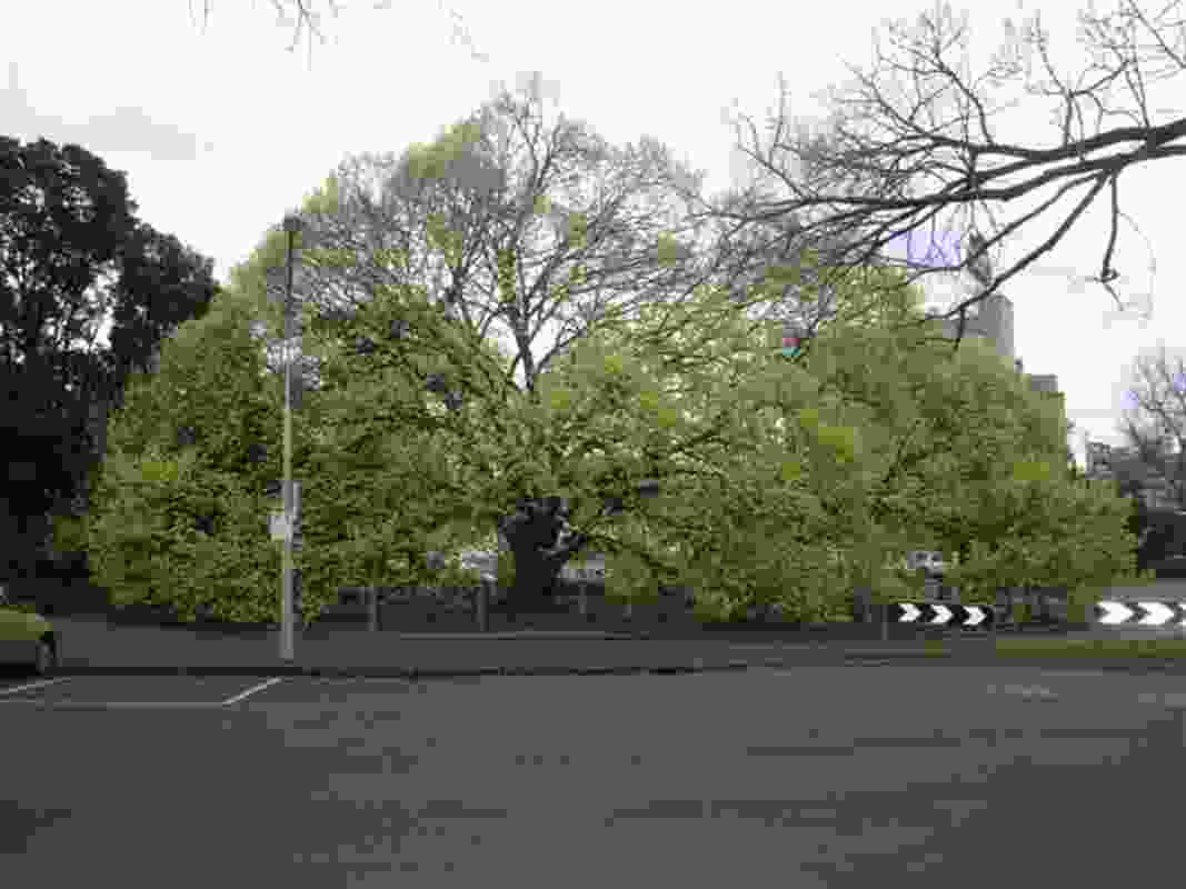 The most-emailed tree: A Golden Wych Elm on Punt Road.