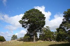 2018 Victorian Tree of the Year announced