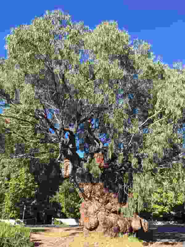 An apple box tree in Beechworth was shortlisted in the 2019 Victorian Tree of the Year Awards.