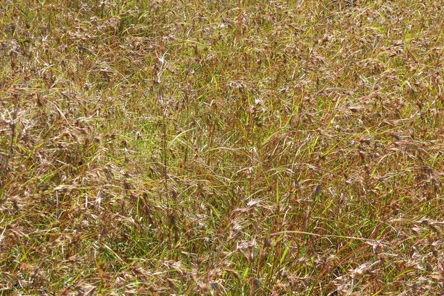 Kangaroo grass was important to both Indigenous and settler Australians.