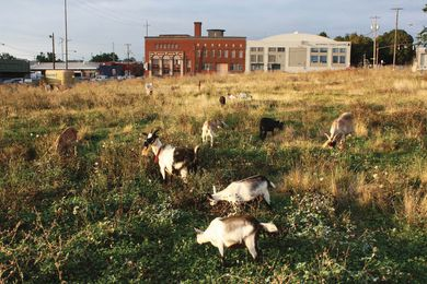 A cosmopolitan meadow in Portland, Oregon, is composed of a motley ensemble of weeds and goats.