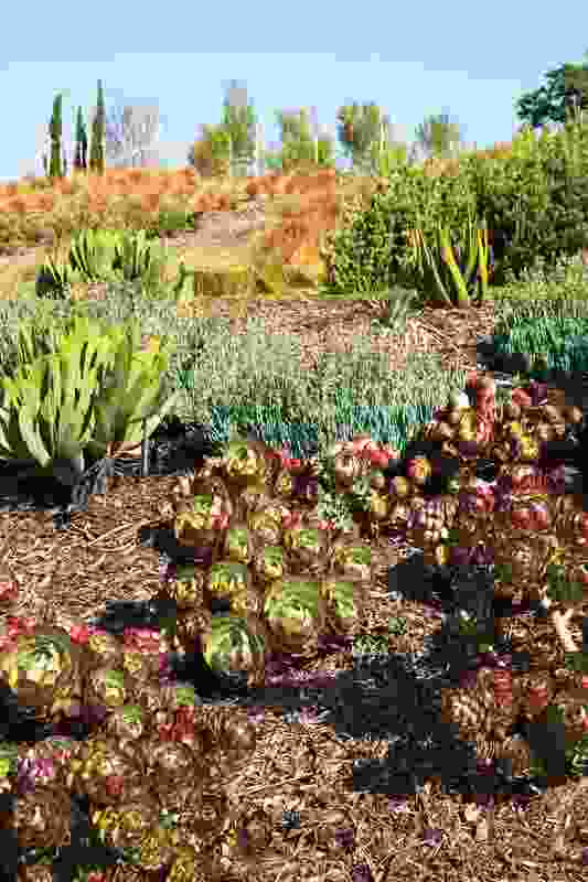 These newly established succulents will grow to form a thick, textural carpet.