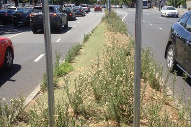 Agapanthus orientalis (agapanthus) once grew happily along this median strip in Melbourne despite extremely hostile growing conditions. It was removed some years ago and replaced with artificial turf.