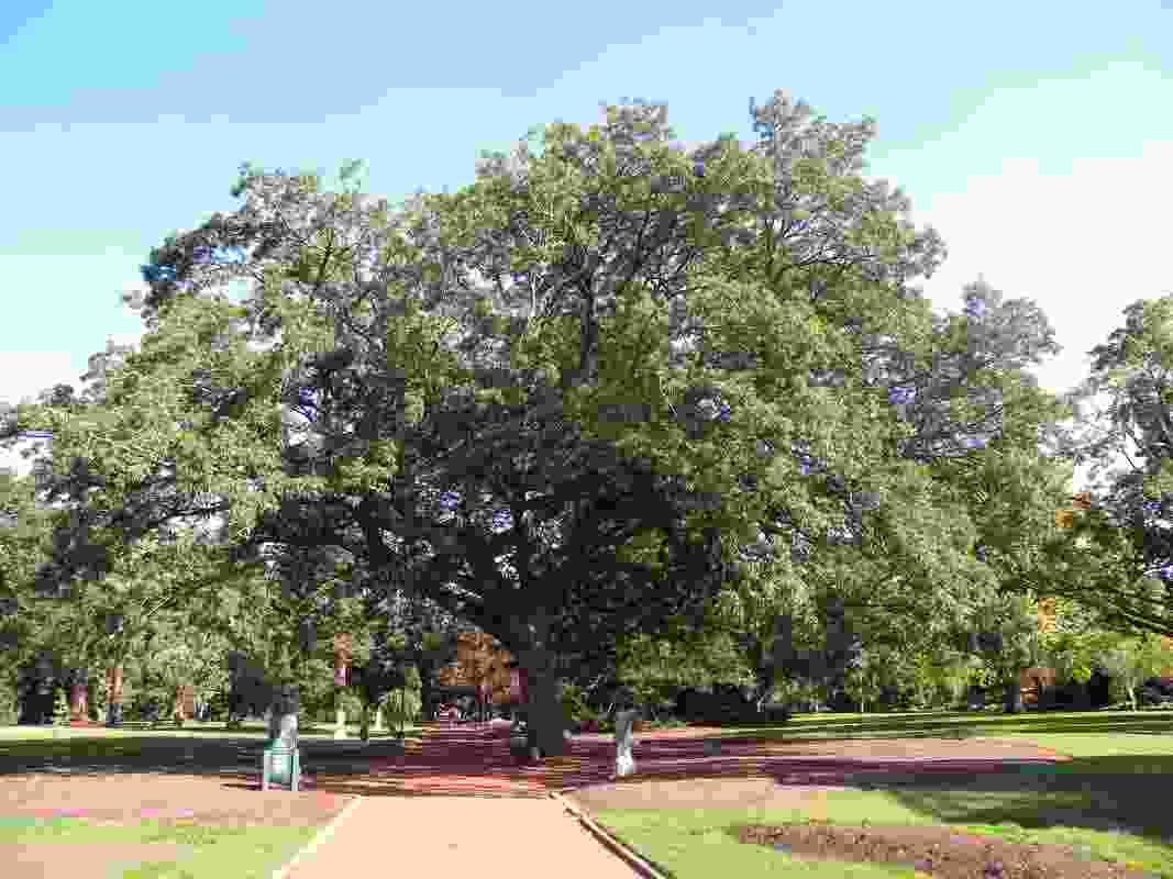 A Turkey oak in the Ballarat Botanic Gardens was shortlisted in the 2019 Victorian Tree of the Year Awards.