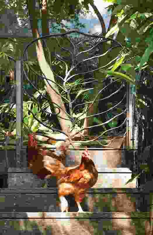 Chooks roam free in the rear garden.